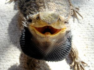 bearded dragon puffing up its beard