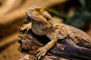 how long can a bearded dragon go without heat
