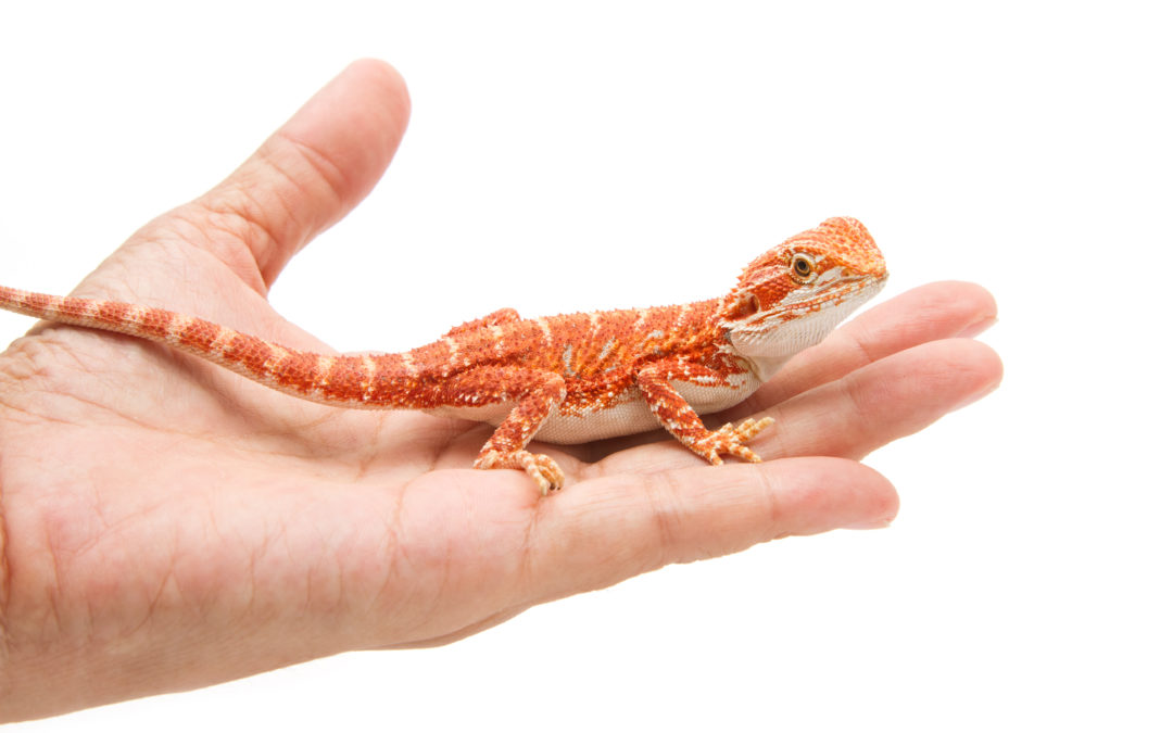 How Fast Do Bearded Dragons Grow? The Ultimate Guide