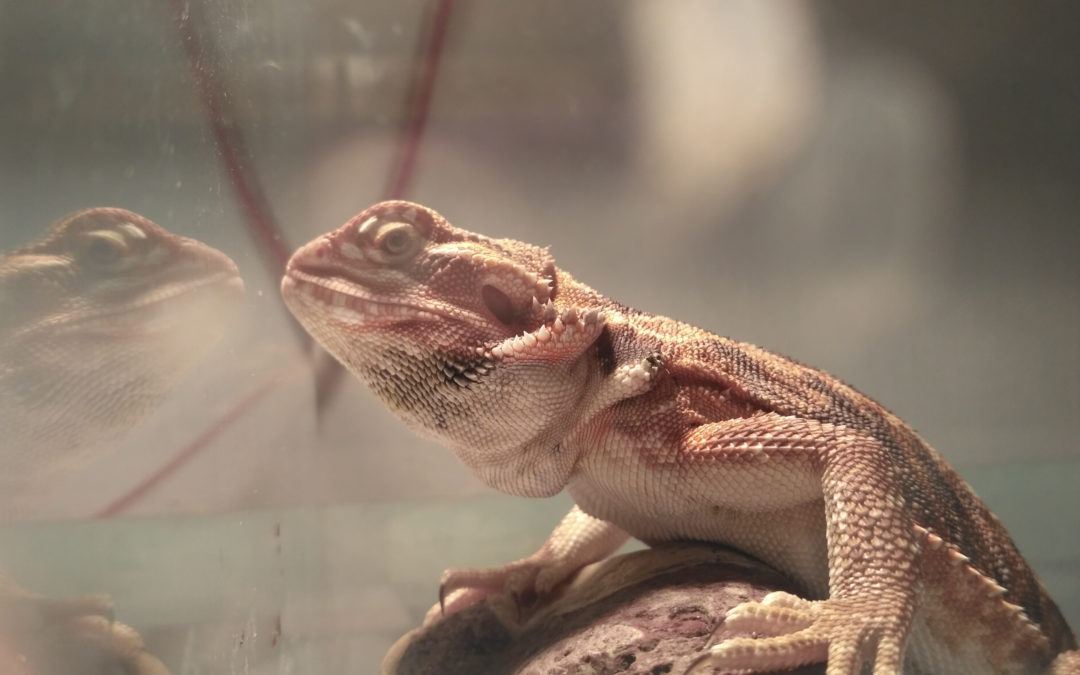 12 reasons your bearded dragon is glass surfing