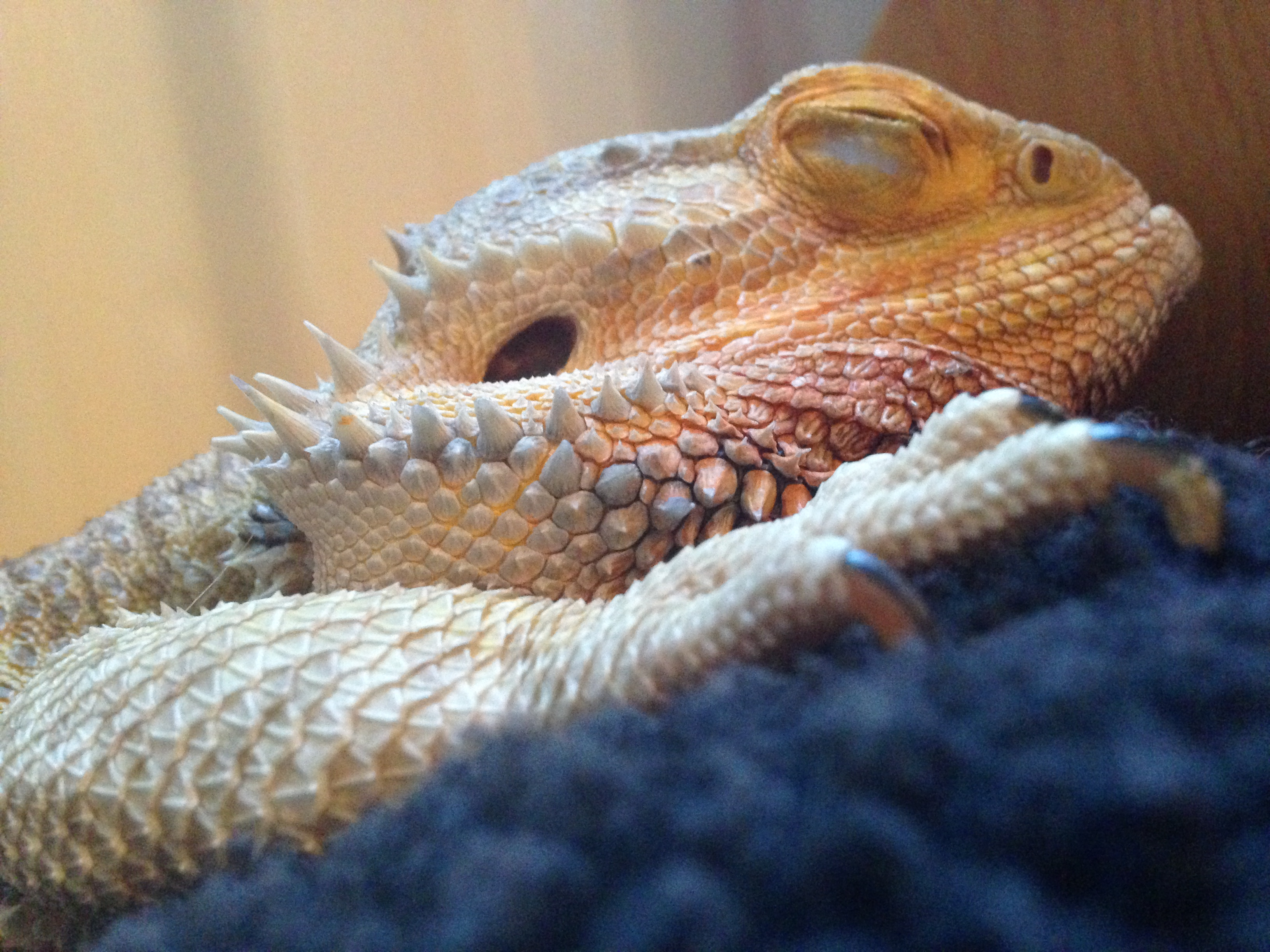 How Much Sleep Do Bearded Dragons Need? Here's The Answer!