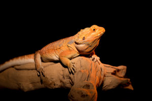 bearded dragon lighting the complete guide
