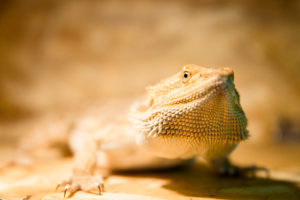 why do bearded dragons glass surf