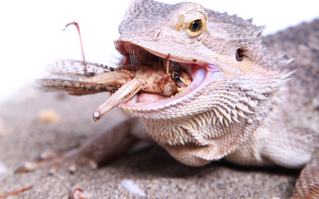 10 Reasons Your Bearded Dragon Is Not Eating | Full Guide