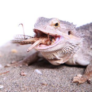 9 reasons why your bearded dragon isn't eating