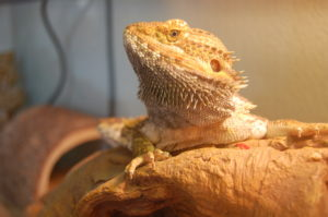 how long can bearded dragons go without heat