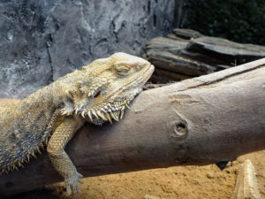 how much sleep do bearded dragons need