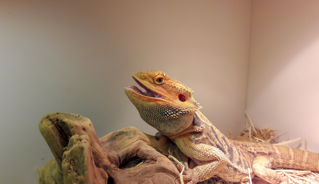 bearded dragon shedding