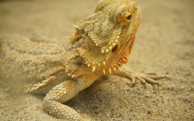 Best Substrate For Bearded Dragons – The Ultimate Guide!