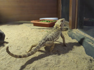 why do bearded dragons dig