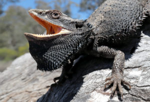 why do bearded dragons keep their mouths open