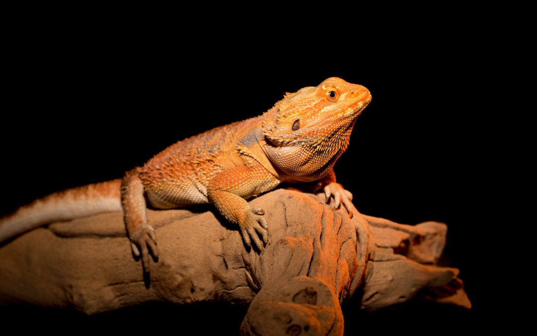 bearded dragon basking