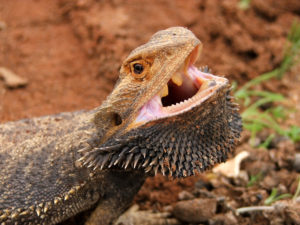 9 reasons why bearded dragons keep their mouths open