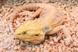 best bearded dragons substrate