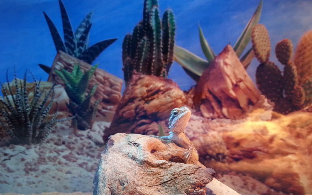 do bearded dragons grow to the size of their tank