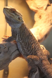 why do bearded dragons bask