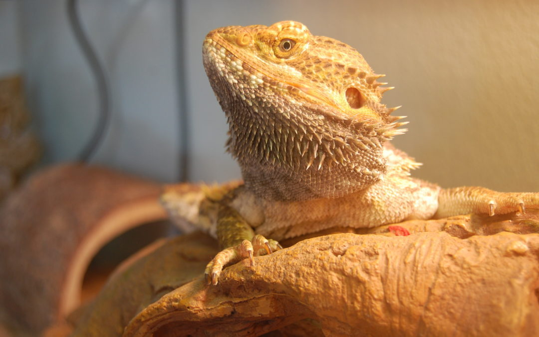 Bearded Dragon Temperature Complete Easy To Follow Guide Total Bearded Dragon