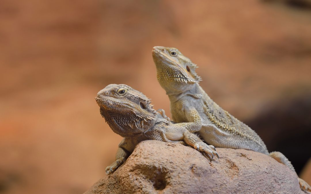 can bearded dragons live together