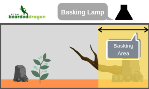 bearded dragon basking area