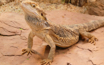 Find Out If Bearded Dragons Are 'Actually' Active!
