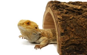 bearded dragon toys and activities tunnel