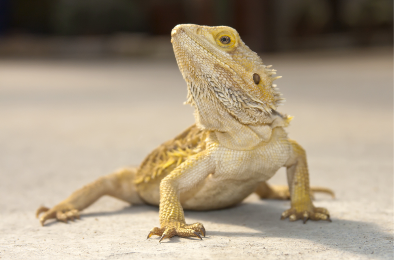 do bearded dragons know their name