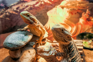 can bearded dragons get too hot
