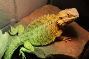 bearded dragons getting hot