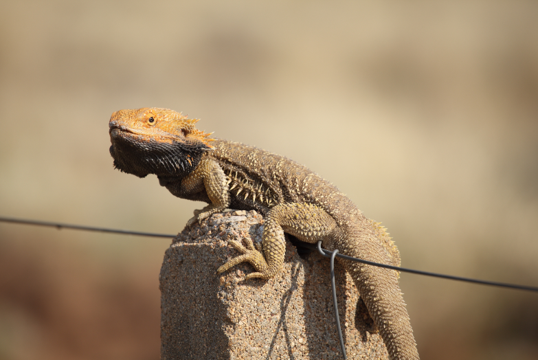 can bearded dragons climb