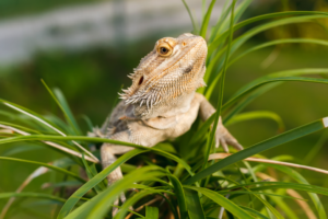 bearded dragon go outside