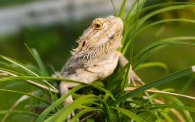 Can Bearded Dragons Go Outside? (Complete Guide)