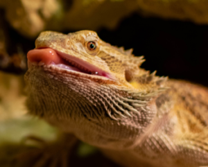 bearded dragon licking
