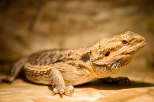 bearded dragon play with dogs