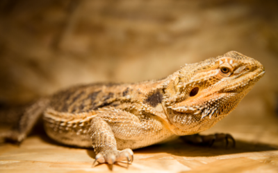 Can Bearded Dragons play With Dogs? (Owners Guide)