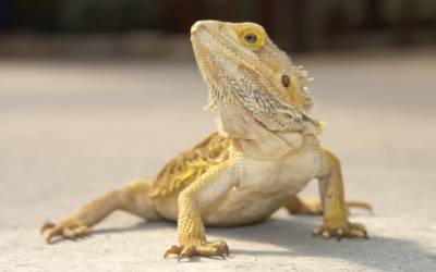Can Bearded Dragons Run Around The House? (Owners Guide)