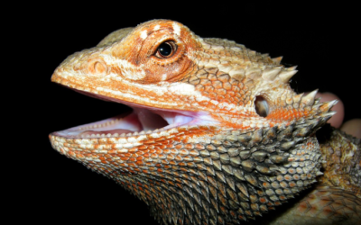 Do Bearded Dragons Have Teeth? (The Surprising Truth)