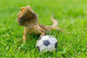 bearded dragon toys and activities
