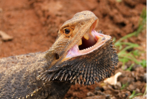 bearded dragons getting angry