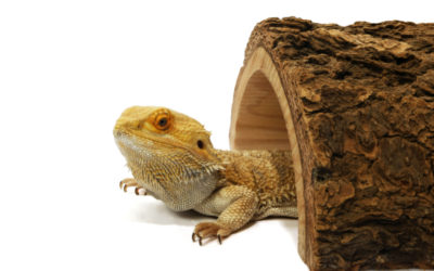 Do Bearded Dragons Need a Hide? (Owners Guide For 2020)