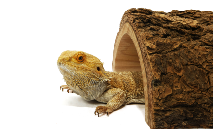 do bearded dragons need a hide