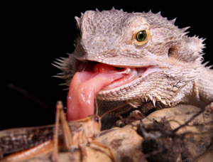 new bearded dragons licking
