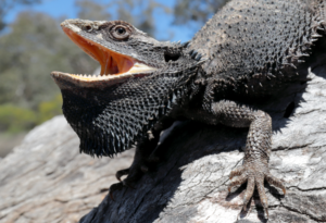 reasons that bearded dragons can get angry