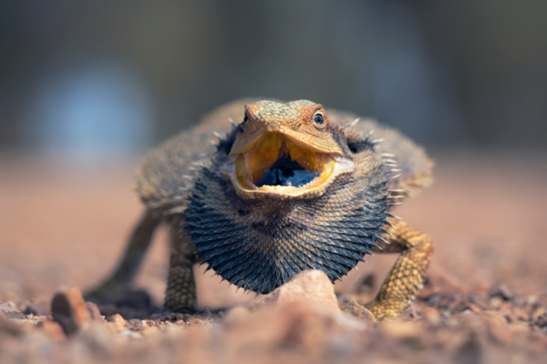 bearded dragon angry