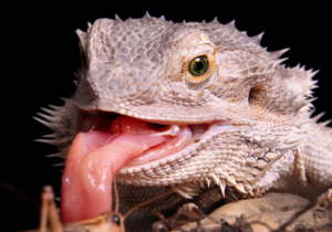 why do bearded dragons lick