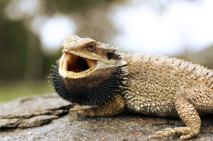 bearded dragons aggressive