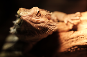 why do bearded dragons need a hide
