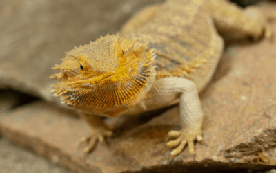 The 'Real' Reason Bearded Dragons Run On 2 Legs! (Bizarre)