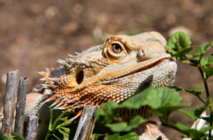 how can bearded dragon see