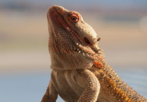how do bearded dragon see