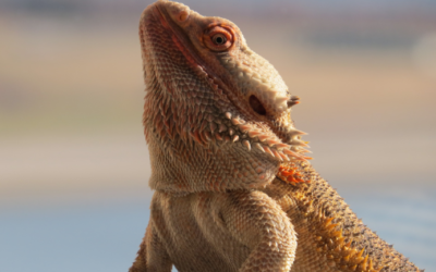 How Do Bearded Dragons See? (The Fascinating Truth)